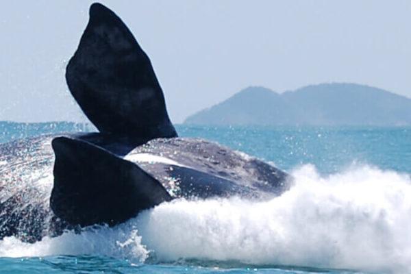 baleias francas atracao do inverno na praia do rosa