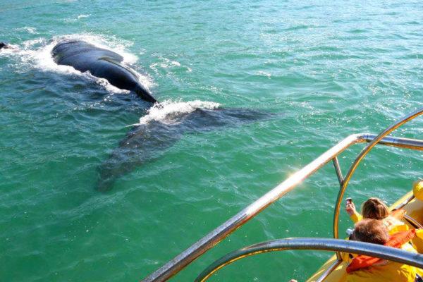 observacao de baleias francas e reativadano litoral catarinense